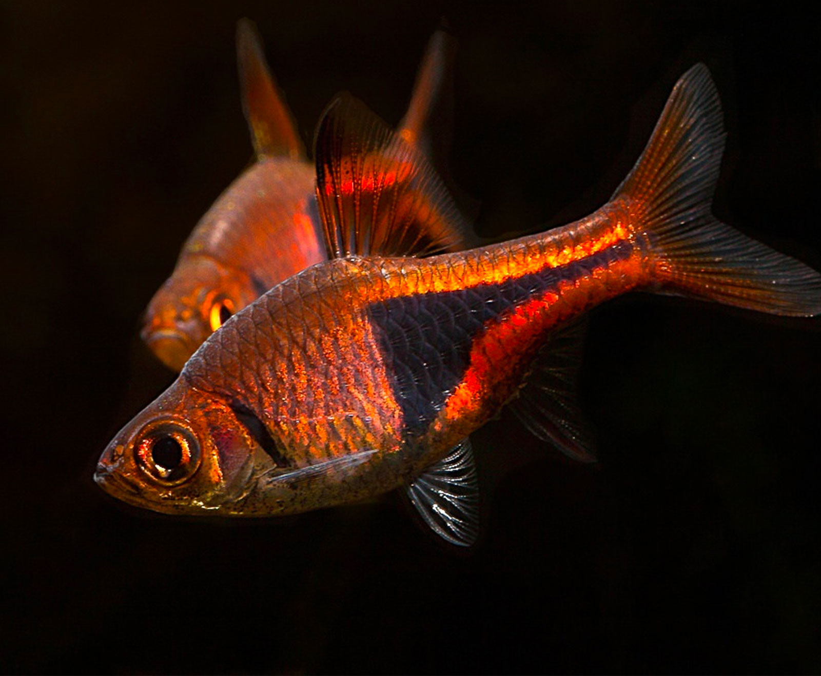 Rasbora heteromorpha acquista online pesci tropicali for Pesci online