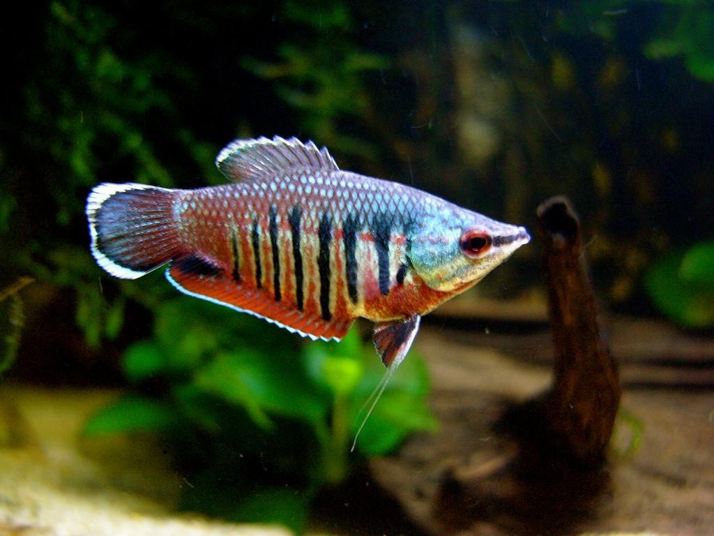 Sphaerichthys vaillanti acquista online pesci for Vendita on line pesci tropicali