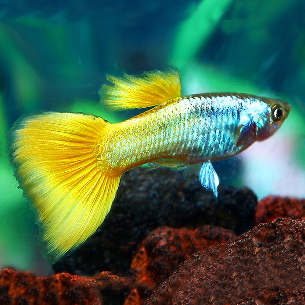 18-Poecilia-reticulata-Guppy-Male-Germen-Yellow