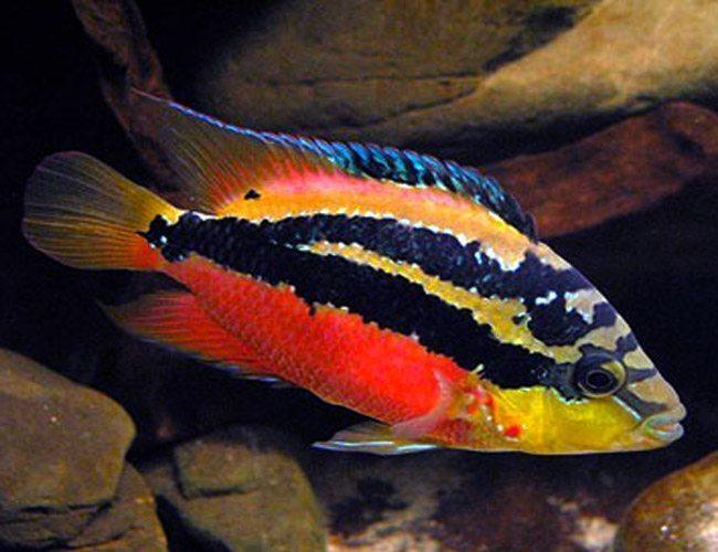 Salvini-Cichlid-Freshwater-Aquarium-Fish