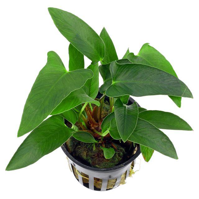 anubias-gracilis(1)