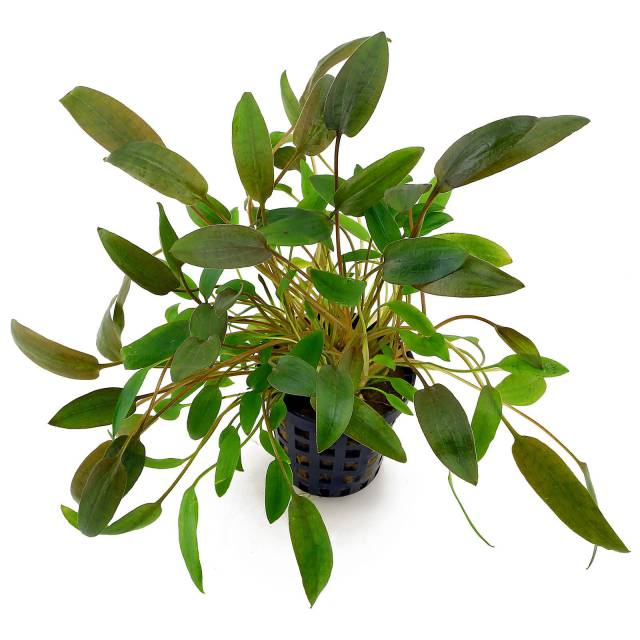 cryptocoryne-wendtii-brown(1)