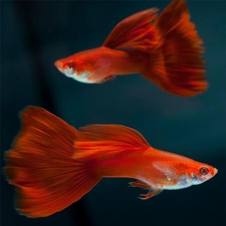 full_red_guppy_male_grande