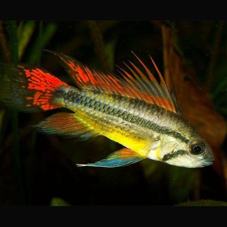 Apistogramma cacatuoides double red coppia acquista for Vendita online pesci acqua fredda