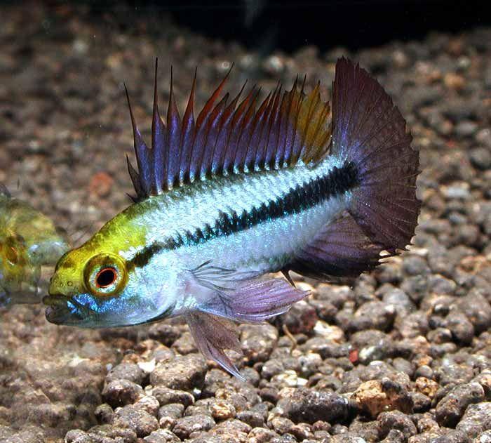 pesci tropicali per acquario dolce fishball vendita