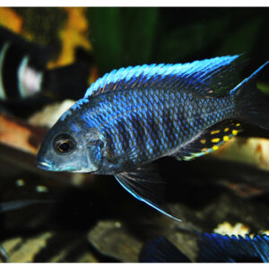 Aulonocara-kandeensis---Blue-orchid1