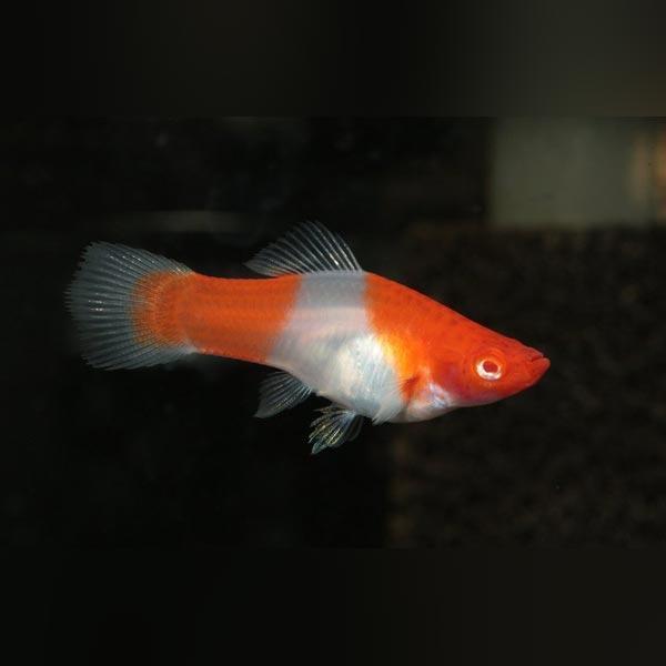 Kohaku-Red-Eye-Swordtail