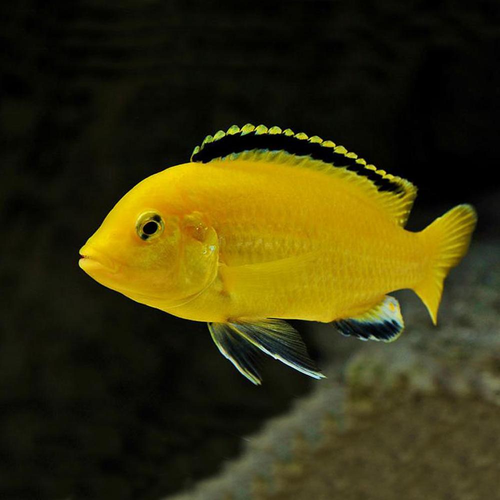 Labidochromis-caeruleus-