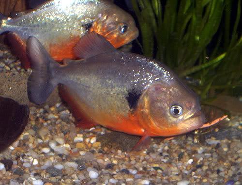 Pygocentrus-cariba