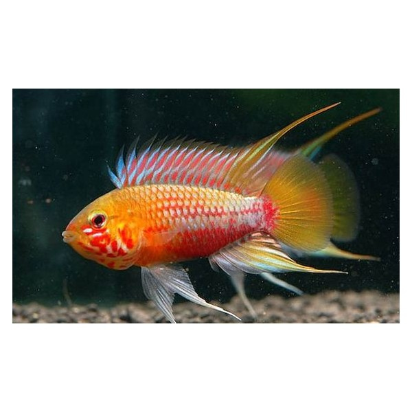 apistogramma-hongsloi-i-red-gold-m
