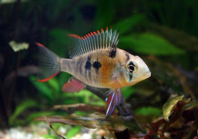 pielegniczka-boliwijska-pielegnica-ryba-akwariowa-5