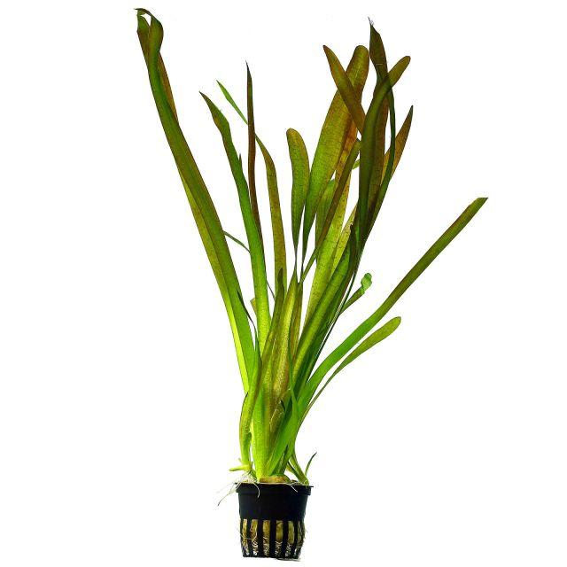 vallisneria-australis(1)