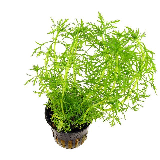 limnophila-aquatica(1)