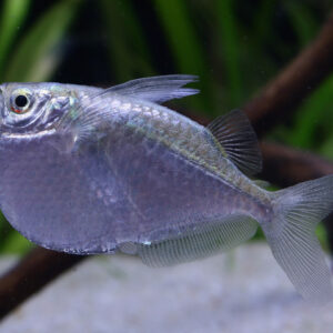 Wa-Thoracocharax-stellatus