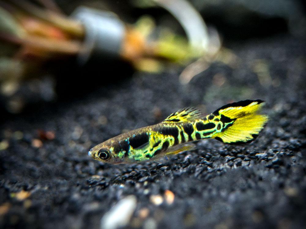Yellow-Tiger-Endler-2_1024x1024