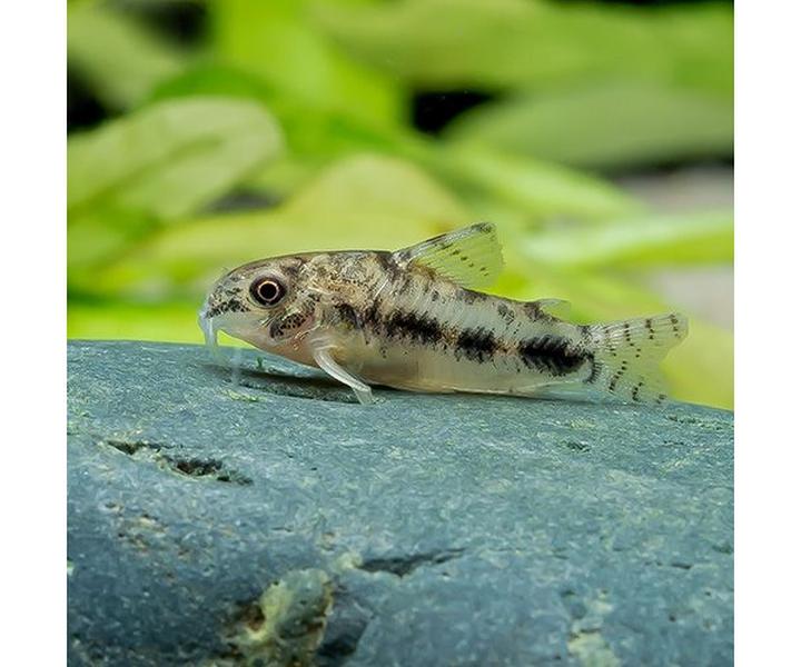 bubbas-fishs-corydoras-habrosus-corydoras-pepper-a_risultato