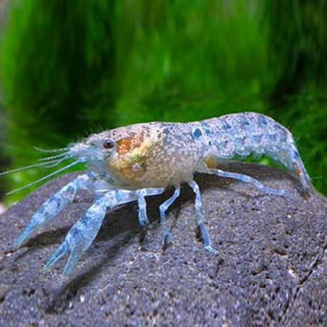 cambarellus-patzcuarensis-blue-2-3cm