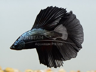 13355-Betta-Black-HM