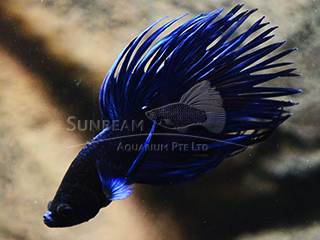 13392-Fighter-Male-Crown-Tail-Blue-L