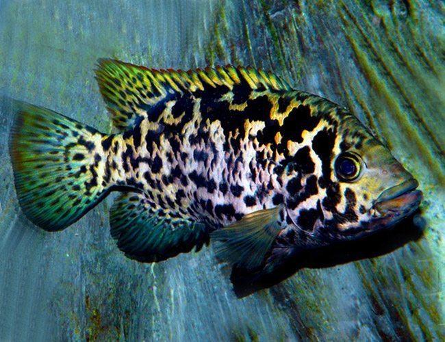 Cuban-Cichlid-Pond-Fish