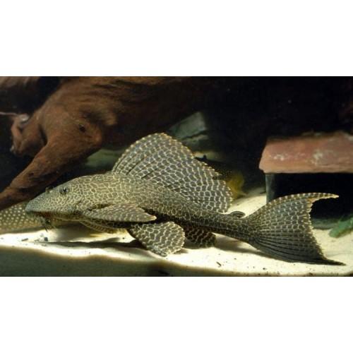 Sailfin Pleco (Pterygoplichthys gibbiceps) 40cm-500x500