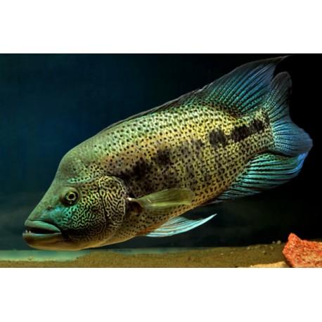 wolf-cichlid-parachromis-dovii