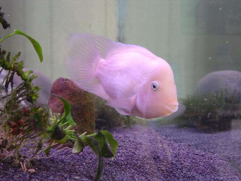 cichlasoma-nigrofasciatum-albino