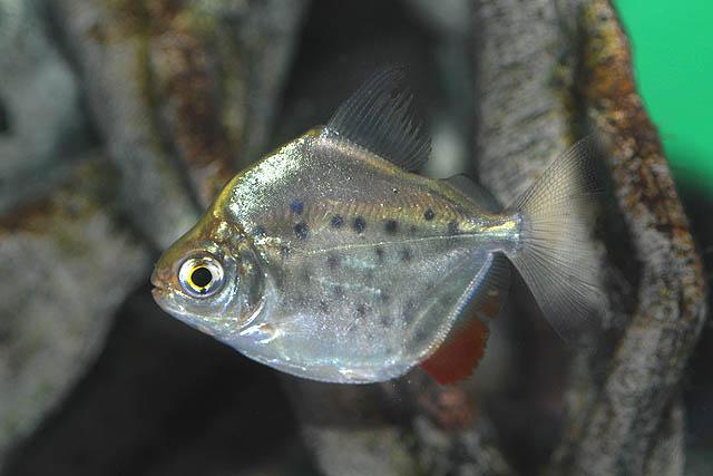 metynnis-maculatus-jjphoto-2