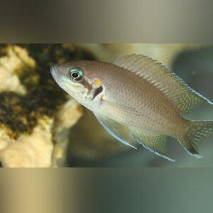 Lamprologusbrichardi
