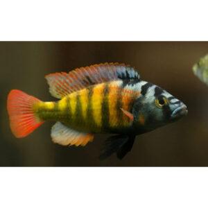 Haplochromisobliquidens
