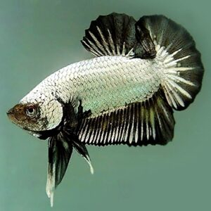 Betta plakat dragon