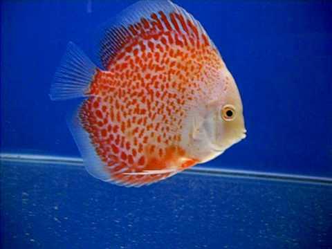 Vendita pesce Discus