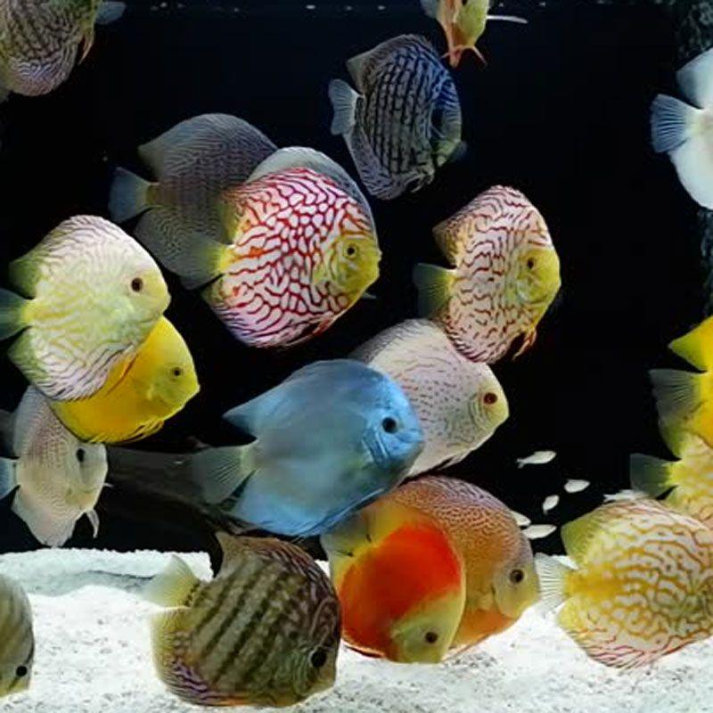 Pesci tropicali per acquario dolce