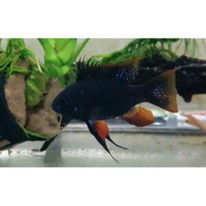 Ramirezi black